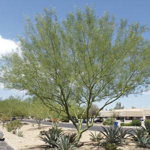 Desert Museum Palo Verde Tree Mesa AZ
