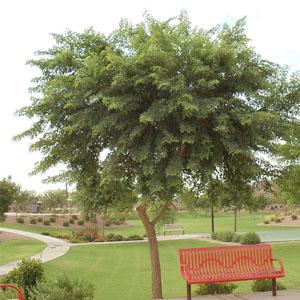 Desert Trees For A P Nursery