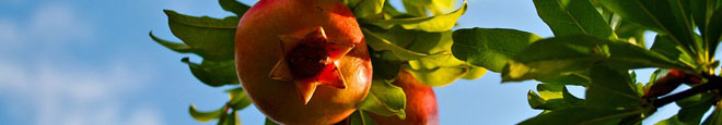 Choosing A Site For Your Mesa Pomegranate Tree