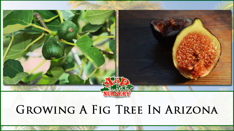 Growing A Fig Tree In Mesa Az P Nursery