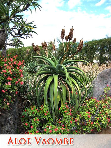 Growing Succulents In Arizona Mesa Gilbert Queen Creek