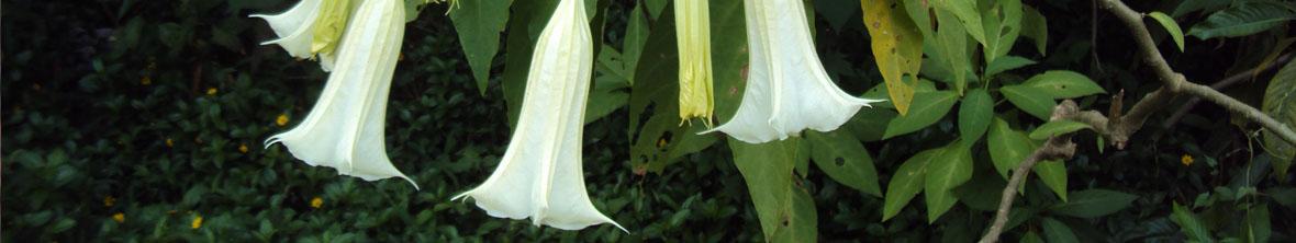 Datura Perennial Flower Arizona