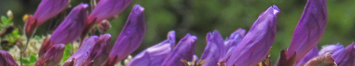 Penstemon Perennial Flower Arizona