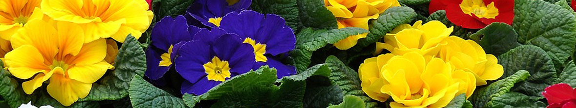 Primrose Perennial Flower Arizona