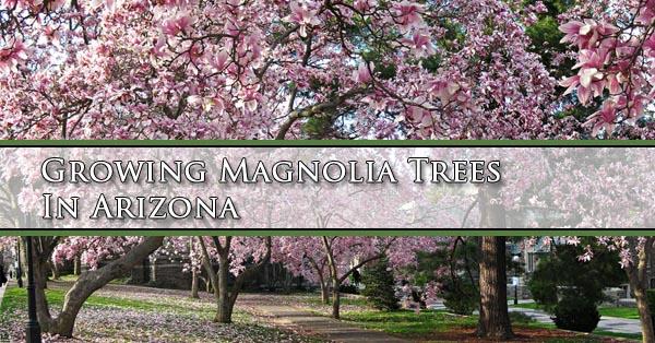 growing-magnolia-trees-in-arizona
