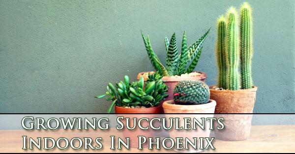 growing-succulents-indoors-in-phoenix