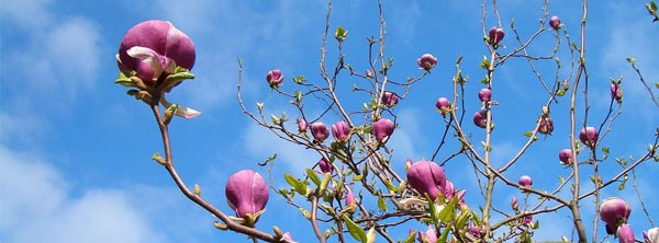 Growing A Magnolia Tree In Arizona Mesa Queen Creek Gilbert