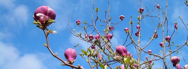 how-to-plant-magnolia-tree-arizona