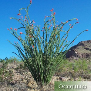 ocotillo-succlent-desert-lanscaping-arizona