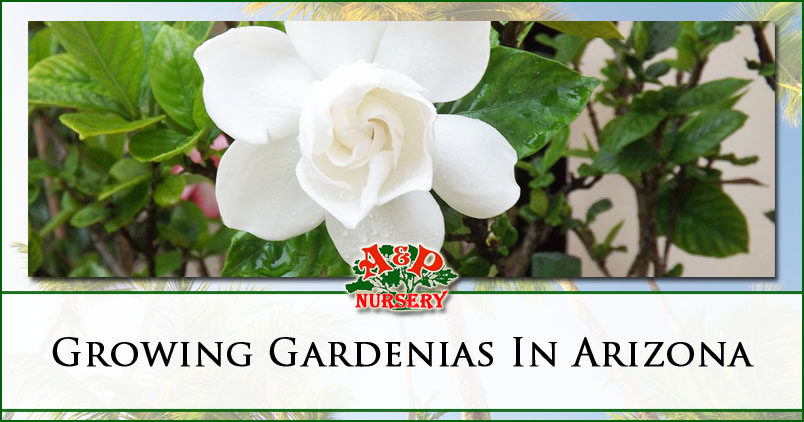 Growing Gardenias In Arizona