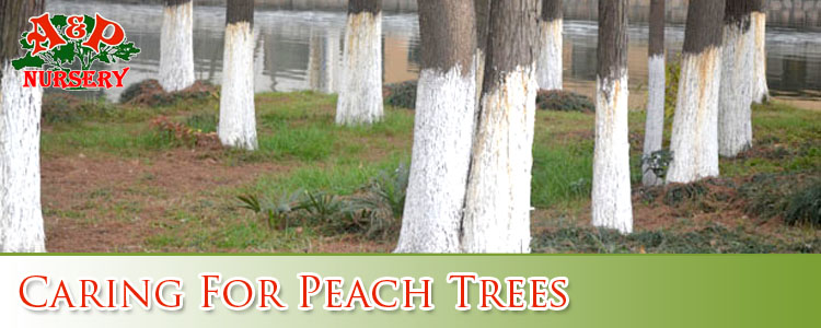 Caring For Peach Trees