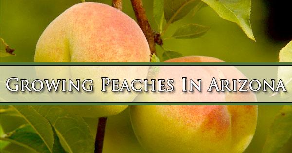 Growing Peaches In Arizona