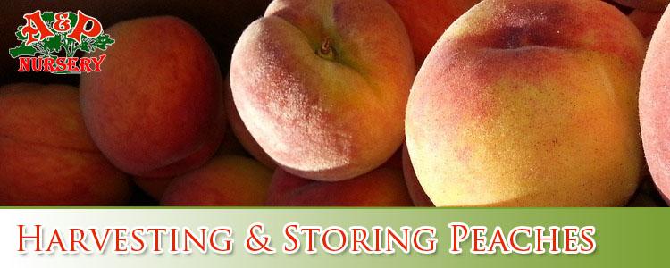 Harvesting & Storing Peaches