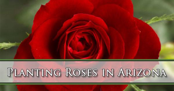 Planting Roses in Arizona