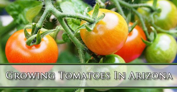 Growing Tomatoes In Arizona