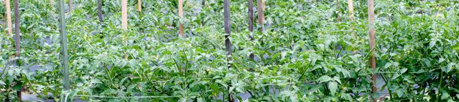 Planting Tomatoes In Arizona