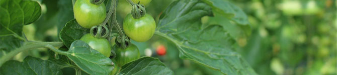 What To Do If Your Tomato Plants Stop Growing