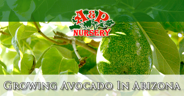 Growing Avocado In Arizona Queen Creek Gilbert Mesa Az