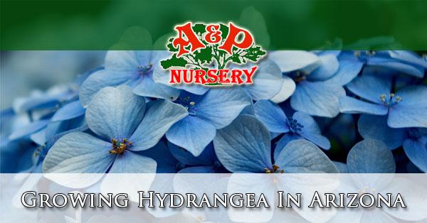 Growing Hydrangea In Arizona