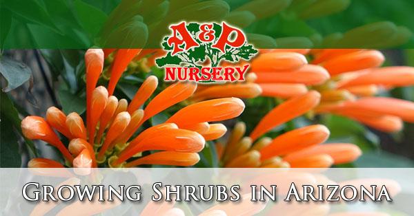 Growing Shrubs in Arizona