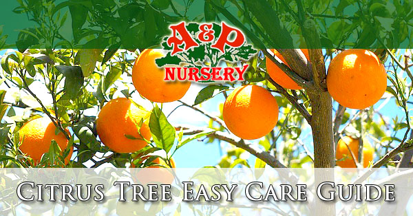 Phoenix Valley Citrus Tree Easy Care Guide