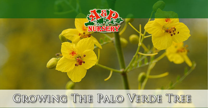 Growing The Palo Verde Tree In Arizona