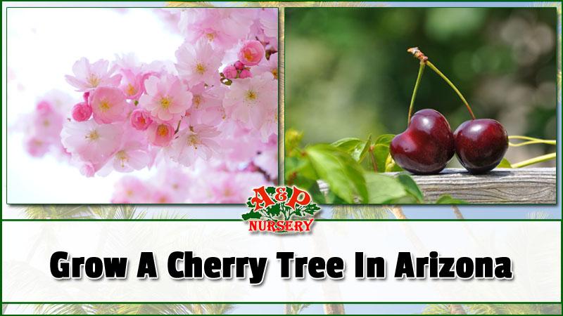 Growing A Cherry Tree In Arizona A Amp P Nursery Mesa