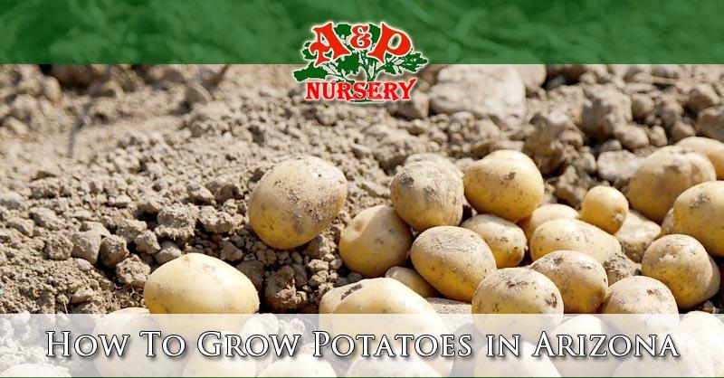 How To Grow Potatoes in Arizona