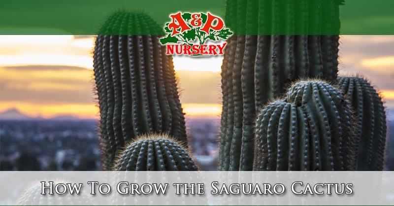 How To Grow the Saguaro Cactus