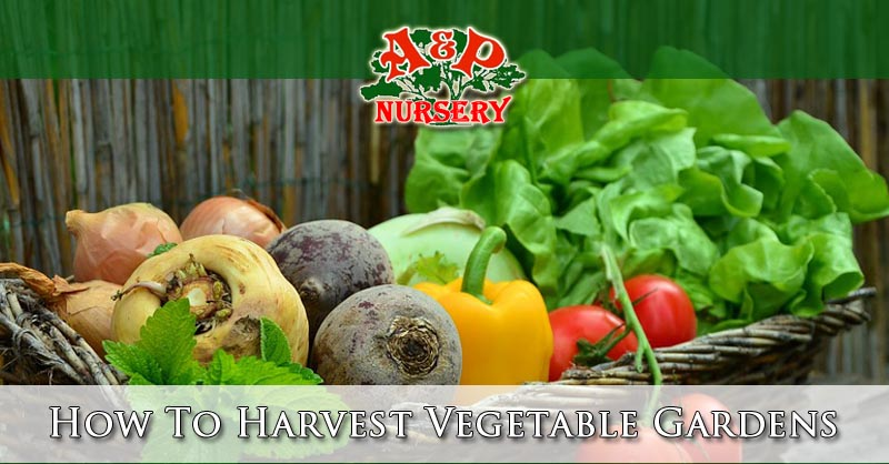 How To Harvest Vegetable Gardens