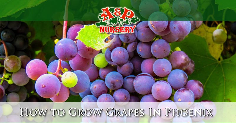 How to Grow Grapes In The Phoenix Valley