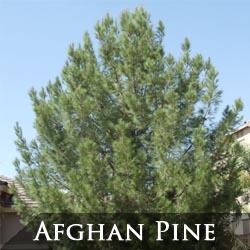 Afghan Pine Tree Phoenix