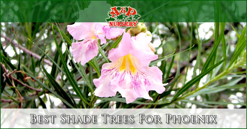 Best Shade Trees For Phoenix