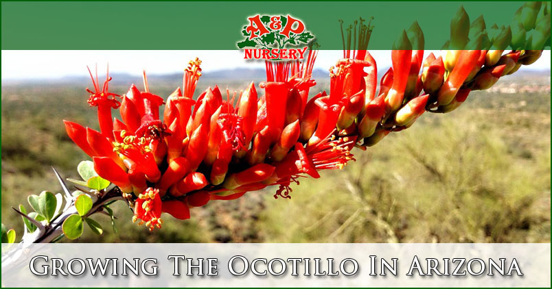 Growing The Ocotillo In Arizona Mesa Queen Creek Gilbert