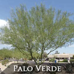 Palo Verde Tree Phoenix
