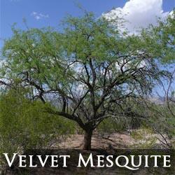 Velvet Mesquite Tree Phoenix